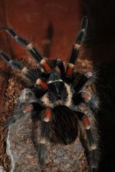 Продажа пауков-птицеедов по низким ценам.