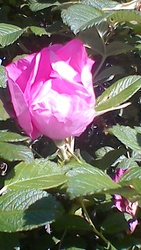 Шиповник с собственного сада