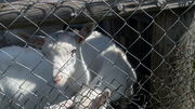 Продается козлик от зааненского козла