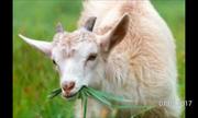 Продам козу годовалую и 2 нутрий