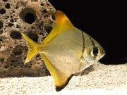 Жёлтый монадоктил