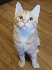 Рыжий котенок - в хорошие руки