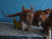 Породистые котята Мейн-кун,  окрас красный мрамор на серебре.