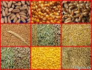 Закупаем зерно фуражное (тритикале,  ячмень,  пшеница,  рожь. кукуруза)