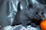 Британские котята.РЕзерв
