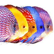 Дискус 5 цветовых вариаций