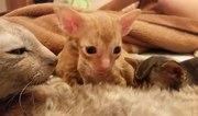 Продам котят Корниш-Рекс