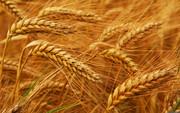 Пшеница фуражная покупаем опт