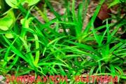ЭРИОКАУЛОН ВЬЕТНАМ. НАБОРЫ растений для запуска. ПОЧТОЙ вышлю-