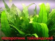 Папоротник тайландский. НАБОРЫ растений для запуска. ПОЧТОЙ вышлю-