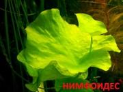 Нимфоидес. НАБОРЫ растений для запуска. ПОЧТОЙ вышлю-----