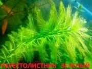 Перестолистник зеленый. НАБОРЫ растений для запуска. ПОЧТОЙ вышлю-----