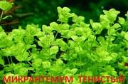 Микронтемум тенистый. Наборы растений для ЗАПУСКА. ПОЧТОЙ вышлю-------