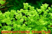 Микронтемум тенистый. Наборы растений для ЗАПУСКА. ПОЧТОЙ вышлю-=