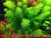 Перестолистник матагросский(зеленый). НАБОРЫ для запуска. ПОЧТОЙ -