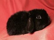 Вислоухие кролики из питомника