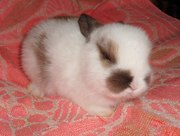 Декоративные мини- пушистики кролики с доставкой