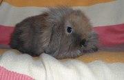 Вислоухие декоративные кролики. Ходят на лоток