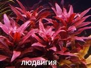 Людвигия гландулоза. НАБОРЫ растений для запуска. ПОЧТОЙ вышлю-=====