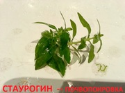Стаурогин зеленый - почвопокровка. НАБОРЫ для запуска. ПОЧТОЙ вышлю+