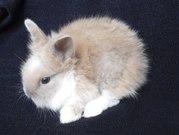 прекрасные декоративные мини пушистики - кролики