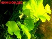 Нимфоидес. НАБОРЫ растений для запуска. ПОЧТОЙ вышлю==============