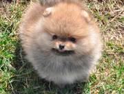 щенки померанского шпица из питомника - медвежий тип