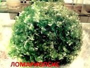 Ломариопсис. НАБОРЫ растений для запуска. ПОЧТОЙ вышлю.