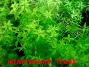 Хемиантус микроимоидес. НАБОРЫ растений для запуска. ПОЧТОЙ вышлю.