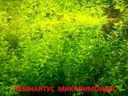 Хемиантус микроимоидес и др растения. НАБОРЫ растений для запуска. ПО