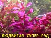 Людвигия СУПЕР-РЭД. НАБОРЫ растений для запуска акваса. ПОЧТОЙ отправл