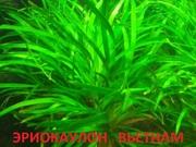 Эриокаулон вьетнам. НАБОРЫ растений для запуска. Почтой и МАРШРУТКОЙ о
