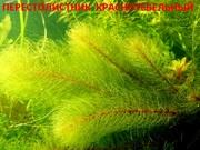 Перестолистник красностебельный и др. растения. НАБОРЫ растений для за
