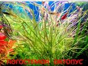 Погестемон октопус и др. растения. НАБОРЫ растений для запуска акваса.