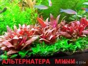 Альтернатера мини.. НАБОРЫ растений для запуска. ПОЧТОЙ и МАРШРУТКО