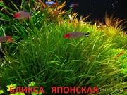 Бликса японская.. Наборы растений для запуска и перезапуска аквариума=