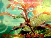 Прозерпинака палюстрис. наборы растений для запуска. Почтой отправлю9