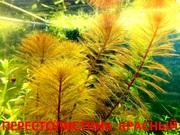 Перестолистник красный. НАБОРЫ растений для запуска. ПОЧТОЙ отправлю