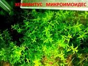 Аквариумные растения. Хемиантус микроимоидес. Наборы для запуска. ПОч