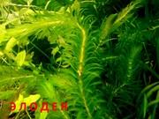 Аквариумные растения. Элодея канадская. Наборы для запуска. ПОЧТОЙ от