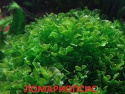 Аквариумные растения. Папоротник ломариопсис. Наборы для запуска. ПОЧ