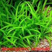 Эхинодорус нежный. НАБОРЫ растений для запуска акваса. ПОЧТОЙ отправ1