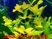 Дубок мексиканский. НАБОРЫ растений для запуска акваса. ПОЧТОЙ отправ1