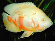 Acтpoнотус альбино