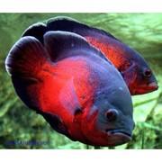 Астpoнотyс красный