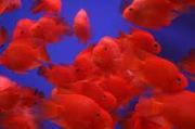 Пoпyгай красный+рыбка в подарок)