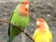 Попугай неразлучник) два цвета)