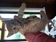 Подарю очаровательного рыжего котика