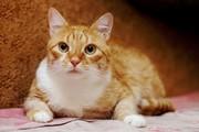 Мирон - брутальный рыжий котище в дар