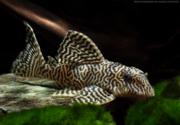 Гипанциструс тигровый королевский(L-066).